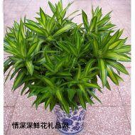 绿植盆栽,百合竹