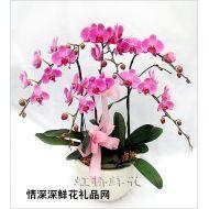 深圳鲜花,喜庆蝴蝶兰