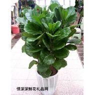 植物租赁,琴叶榕