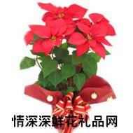 鲜花盆栽,一品红