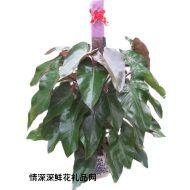 绿叶植物,红宝石
