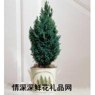 绿叶植物,金柏