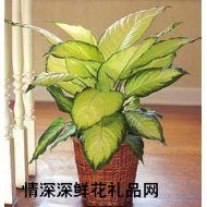 鲜花盆栽,万年青