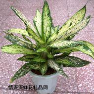 绿叶植物,银皇后