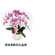 鲜花盆栽,蝴蝶兰03