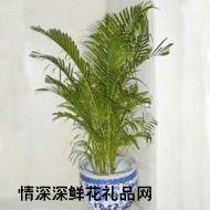 大型盆栽,散尾葵