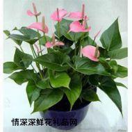 鲜花盆栽,粉火鹤