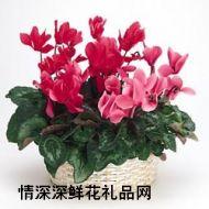 �r花盆栽,仙客��