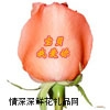 玫瑰颜色,粉玫瑰