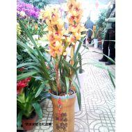 盆栽兰花,大花蕙兰(金黄)