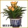 盆栽兰花,君子兰