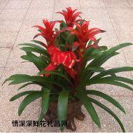 盆花植物,凤梨