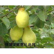 水果品种,新疆香梨